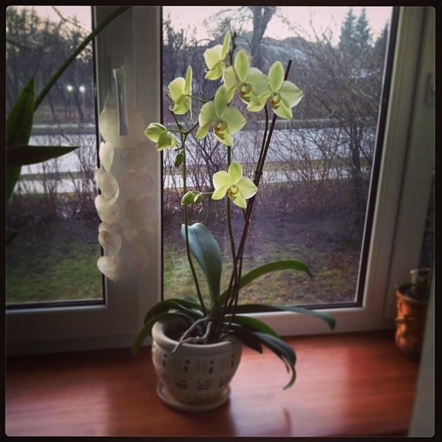 Orchidea virágoztatás